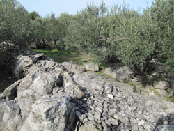 Olive grove in Sucuraj