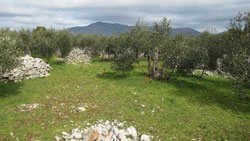 Oblica - most common variety of olive trees in Sucuraj