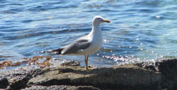 Larus argentatus cachinnans is the most common species of gull in Sucuraj