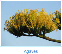 Agaves - photos